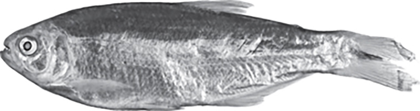 Acrobrycon ipanquianus (photo from publication)