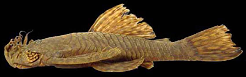 Ancistrus mullerae (photo from Baumgartner et al. 2012)