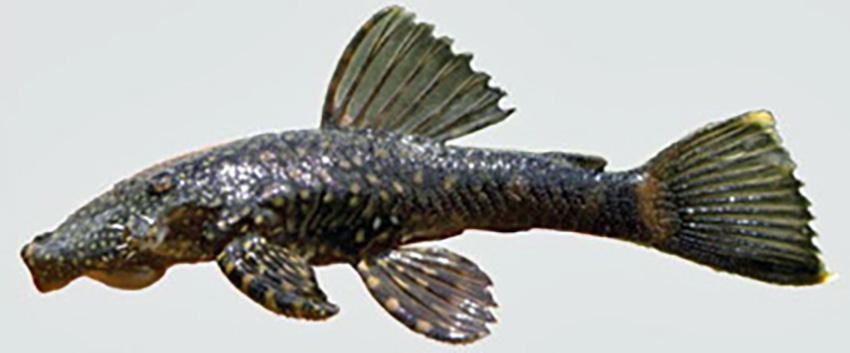 Ancistrus taunayi (photo: Wilson S. Serra, from publication)