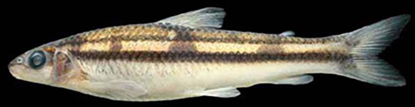 Apareiodon vittatus (photo from Baumgartner et al. 2012)