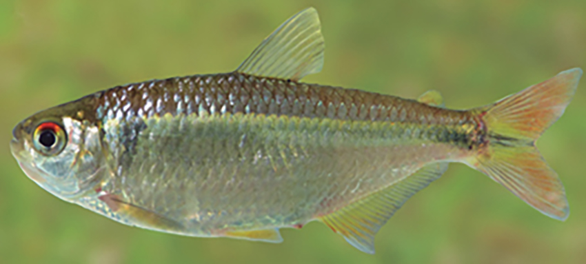 Astyanax bifasciatus (photo from Casciotta et al. 2016)