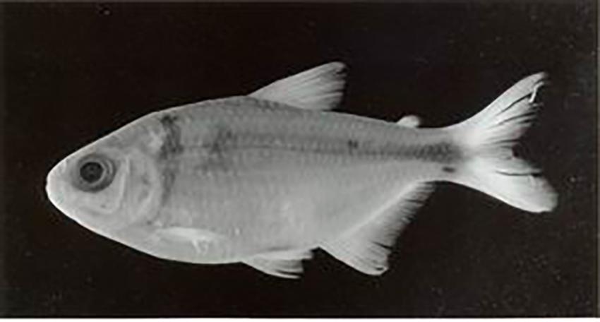 Astyanax chico, holotype (photo: Jorge R. Casciotta)