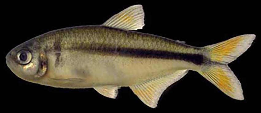 Astyanax dissimilis (photo from Baumgartner et al. 2012)