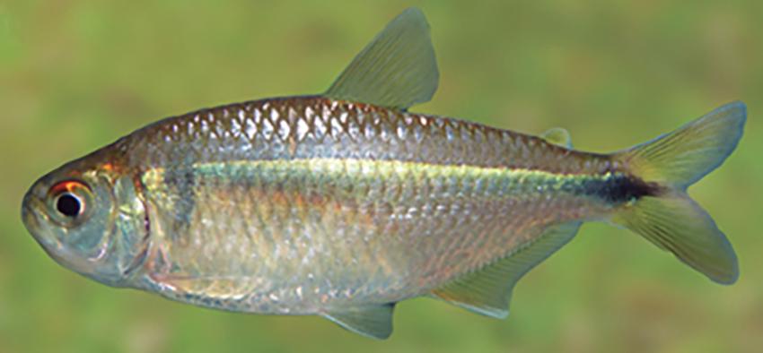 Astyanax dissimilis (photo from Casciotta et al. 2016)