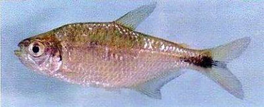 Astyanax pynandi sp.nov.