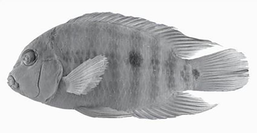 Australoheros kaaygua, holotype (from publication)