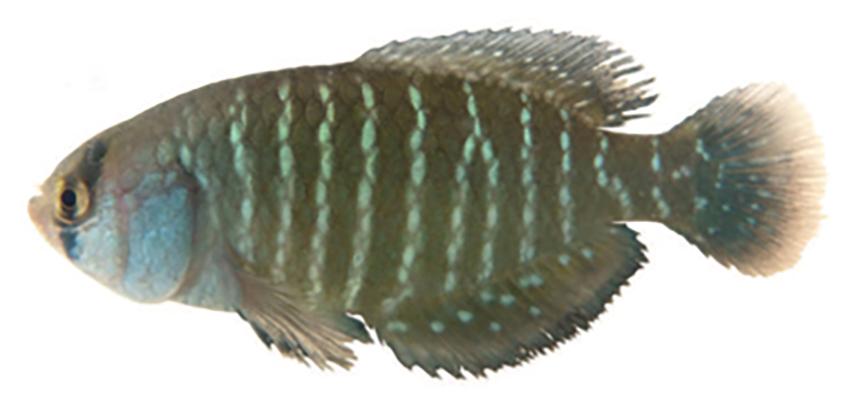 Austrolebias queguay, paratype (photo from publication)
