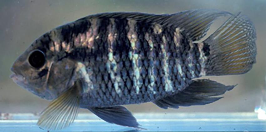 Cichlasoma portalegrense (photo: Fishbase)