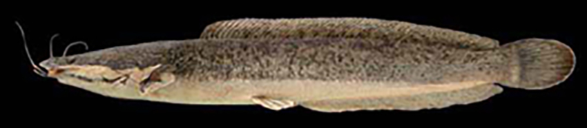 Clarias gariepinus (photo from Baumgartner et al 2012)