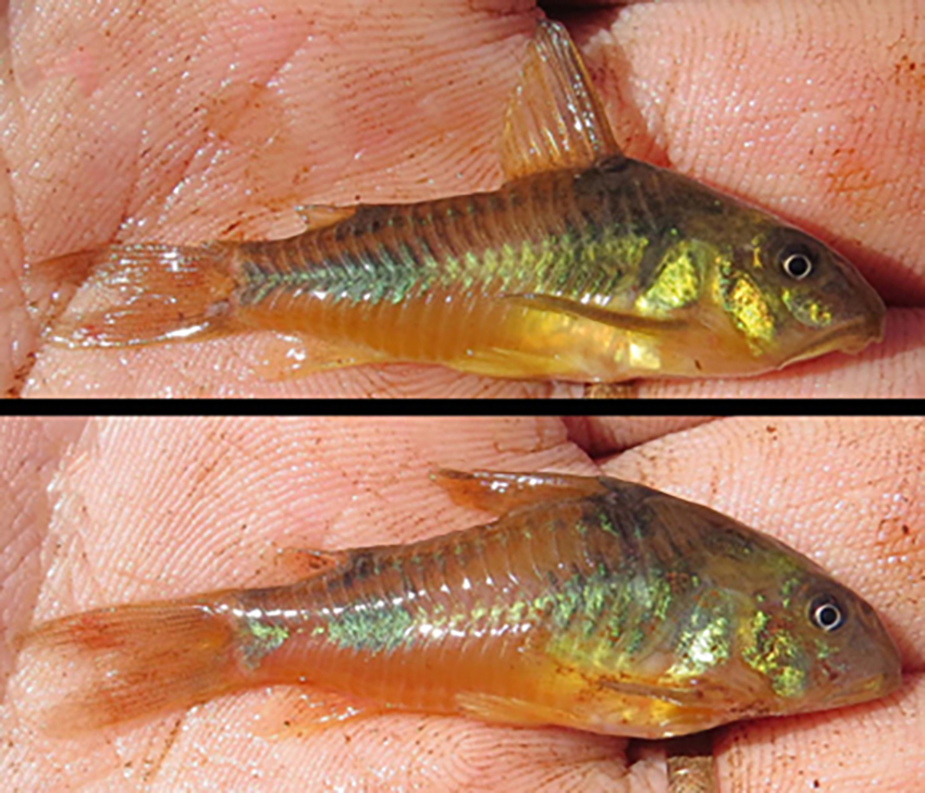 Corydoras ehrhardti (photo from publication)