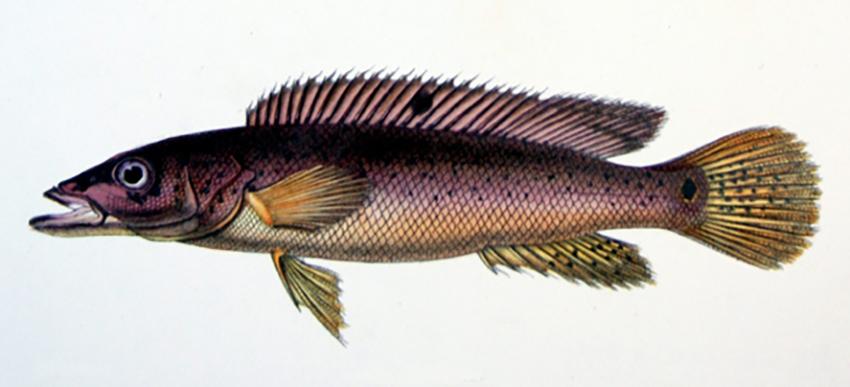 Crenicichla lacustris from Castelnau (by Wikimedia Commons)