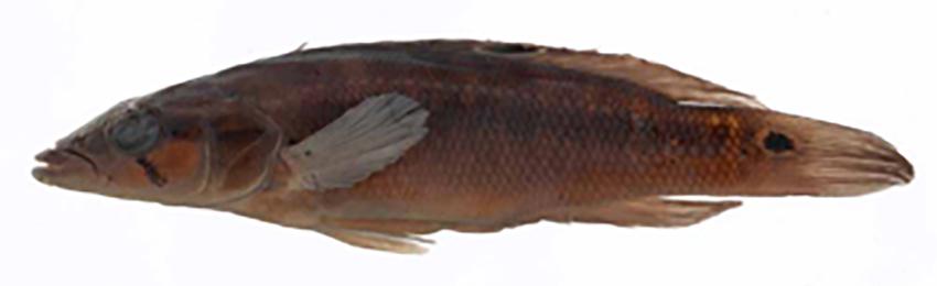 Crenicichla mandelburgeri, holotype (photo from original description)