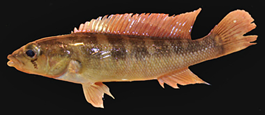 Crenicichla taikyra, dead holotype and alive paratype (photos from publication)