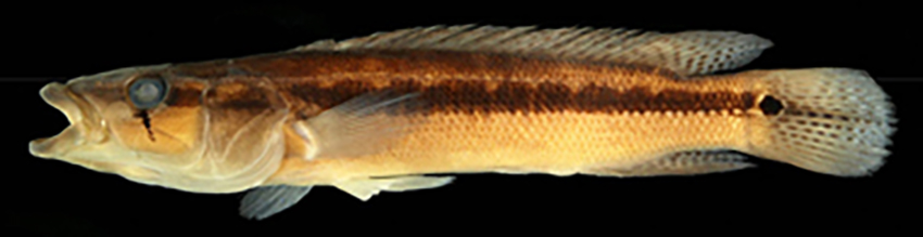 Crenicichla yjhui, preserved holotype and alive paratype (photos from publication)