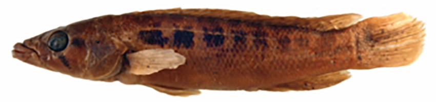 Crenicichla ypo, dead holotype and alive paratype (photos from publication)