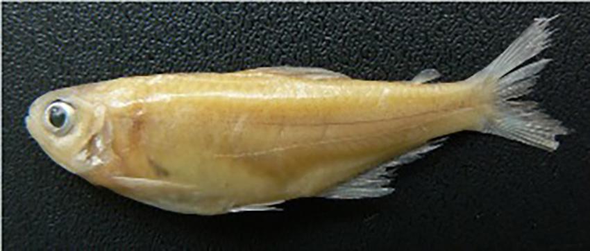 Cyanocharax alburnus (from publication)