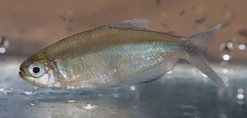 Cyanocharax lepiclastus, from paratype locality in Misiones (photo Stefan Koerber)