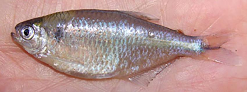 Cyanocharax obi, female paratype (from publication)