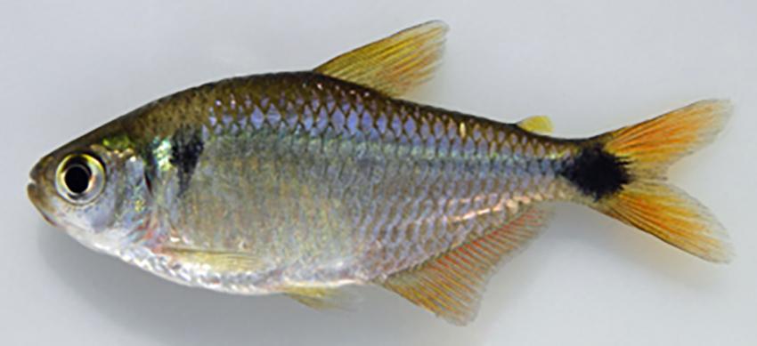 Deuterodon luetkenii (photo: W.S. Serra)