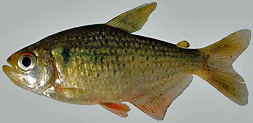 Ectrepopterus uruguayensis (photo: Wilson S. Serra, from publication)