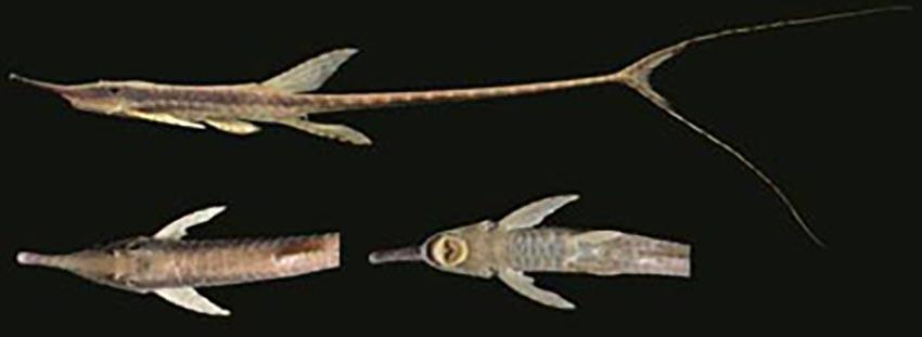 Farlowella azpelicuetae, holotype (photo from publication)
