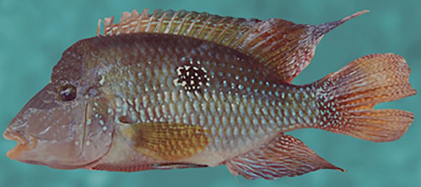 Geophagus brasiliensis (photo from Casciotta et al. 2016)