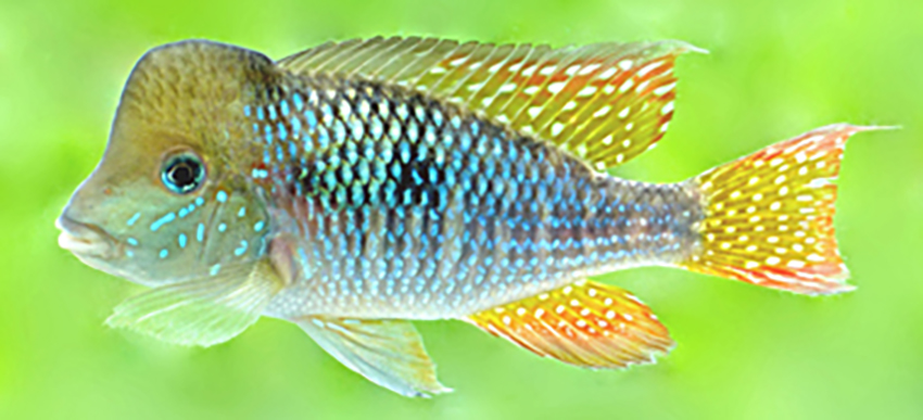Gymnogeophagus jaryi, holotype (photo from publication)