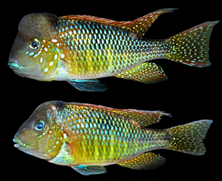 Gymnogeophagus lipokarenos (photo from publication)