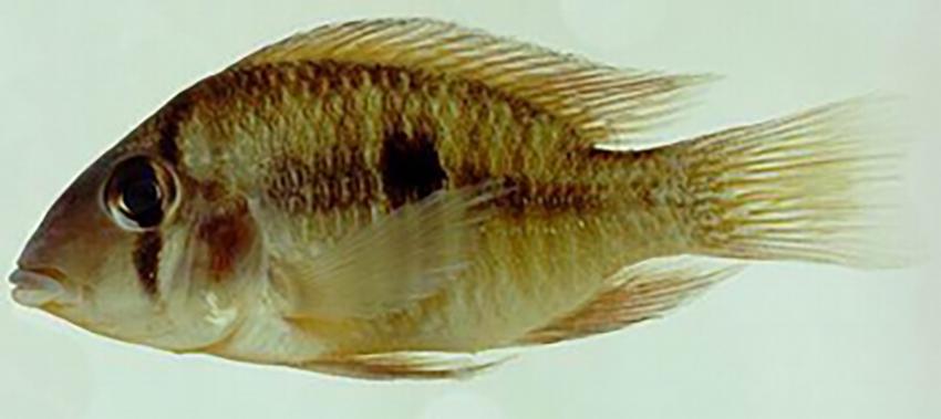 Gymnogeophagus setequedas from Paraguay (photo: S.O. Kullander)