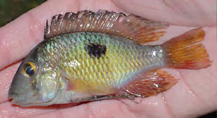 Gymnogeophagus taroba (photo from publication)