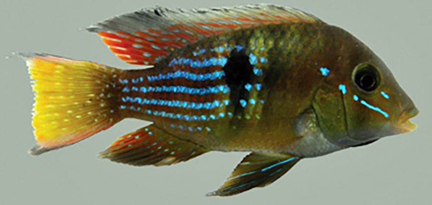 Gymnogeophagus terrapurpura (photo from publication)