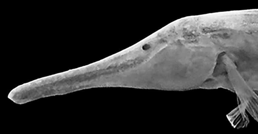 head of Gymnorhamphichthys hypostomus (from publication)