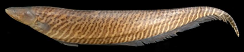 Gymnotus carapo australis, paratype (photo from publication)