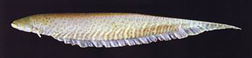 Gymnotus inaequilabiatus (photo from Graca & Pavanelli 2007)