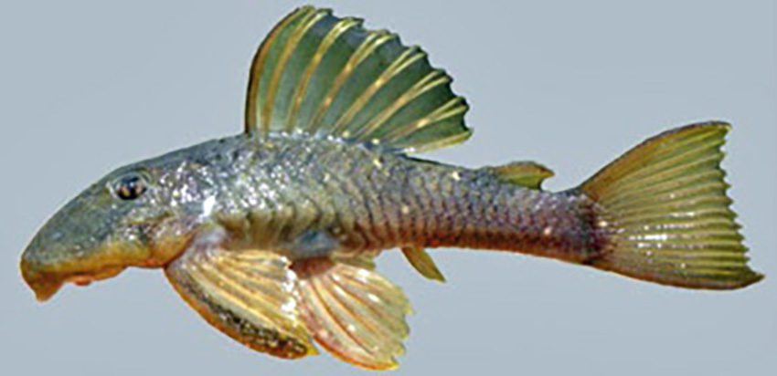 Hemiancistrus votouro (photo: Wilson S. Serra, from publication)