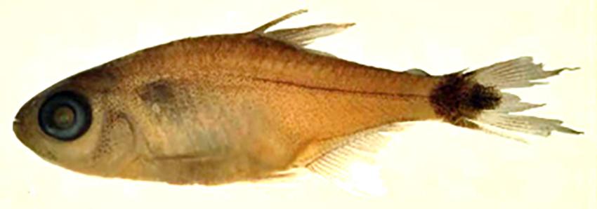 Hemigrammus tridens (photo from publication)