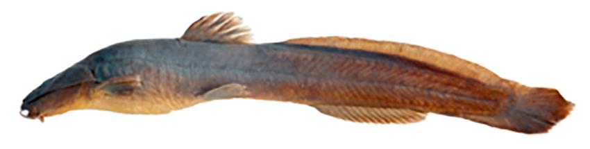 Heptapterus mbya, holotype (from publication)