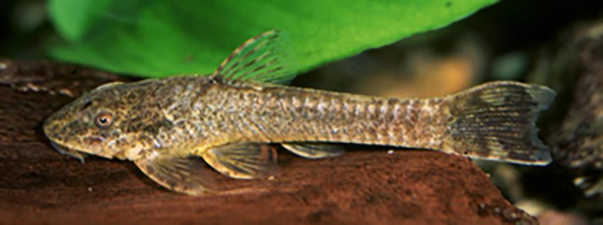 Hisonotus hungy from Arroyo Tirica (photo: Ingo Seidel)