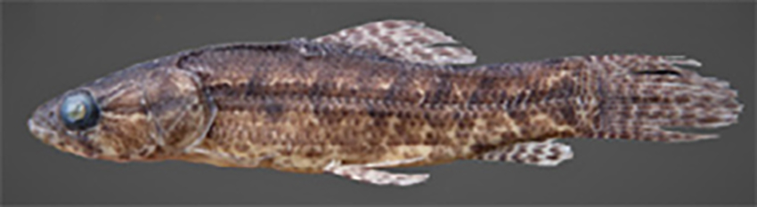Hoplias argentinensis (photo: from publication)