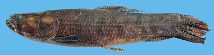 Hoplias argentinensis, holotype (photo from publication)