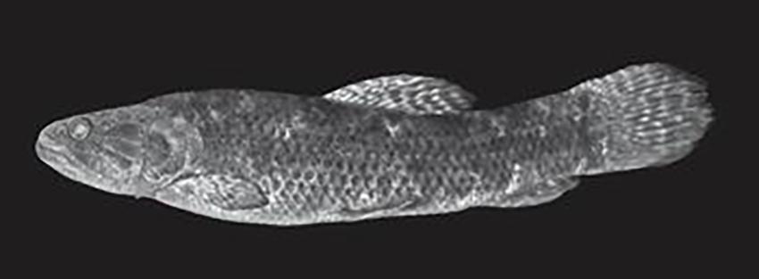 Hoplias australis, holotype (photo from publication)