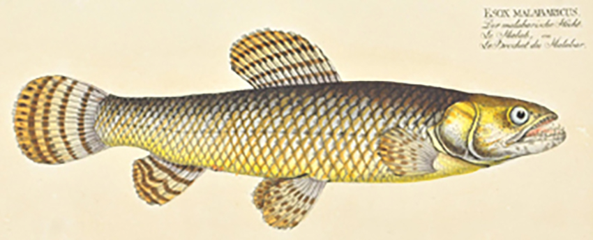 Esox malabaricus (drawing from Bloch, 1794)