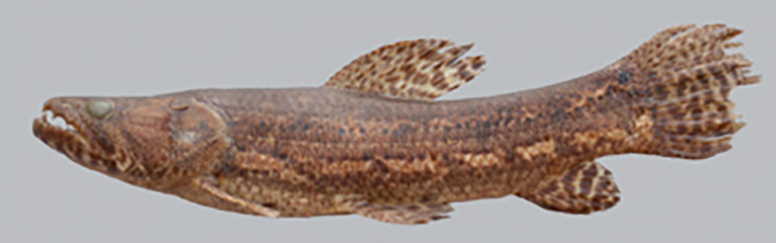 Hoplias mbigua, holotype (photo from publication)