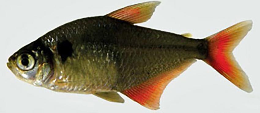 Hyphessobrycon aff. igneus (photo: Wilson S. Serra, from publication)