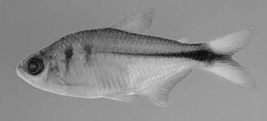 Hyphessobrycon isiri, holotype (photo from publication)