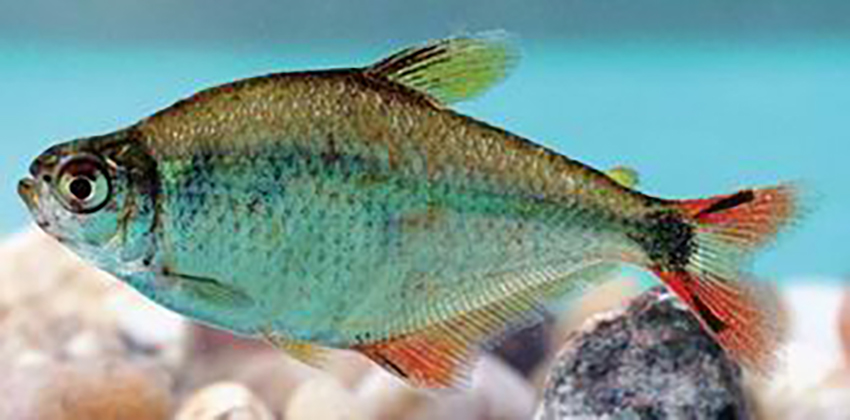 Hyphessobrycon nicolasi (photo from publication)