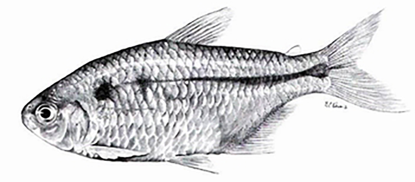 Hyphessobrycon togoi (photo and drawing from publication)