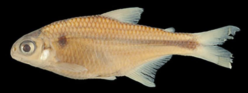 Hypobrycon maromba (photo Calegari)