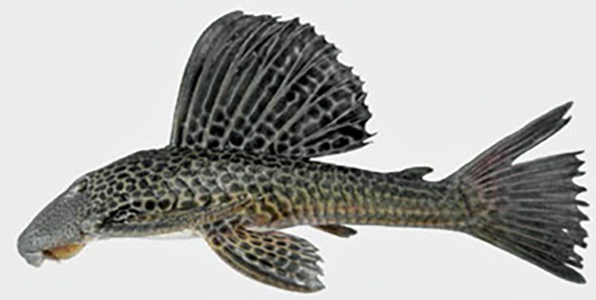 Hypostomus isbrueckeri (photo: Wilson S. Serra, from publication)