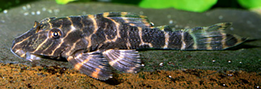 Hypostomus latifrons, juvenile and adult(photo: Ingo Seidel)